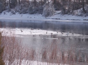 Picture of swans, geese and ducks on the Snake River