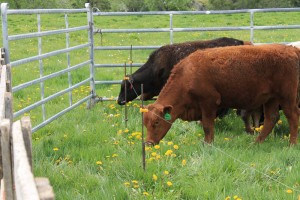 Cow reaching under electric fence
