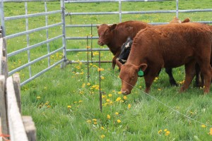 Cow shocked by electric fence